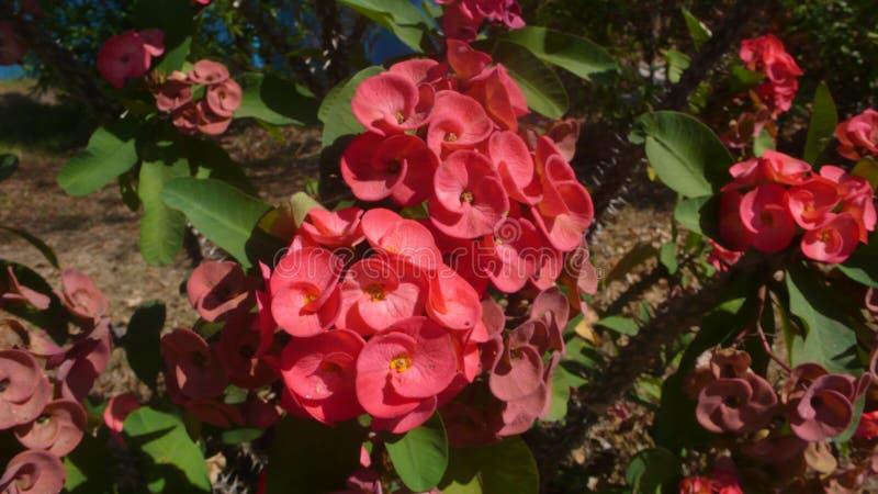 Κόκκινο λουλούδι POI Σηάν στοκ εικόνα