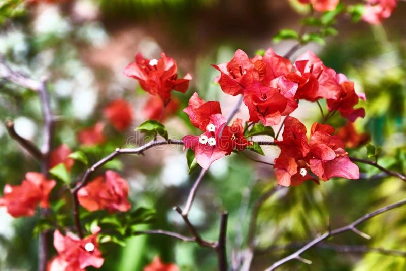 Κόκκινο λουλούδι spectabilis bougainvillea Εξωτικά σπάνια ζωηρόχρωμα τροπικά λουλούδια Κινηματογράφηση σε πρώτο πλάνο Όμορφα και  στοκ φωτογραφία με δικαίωμα ελεύθερης χρήσης