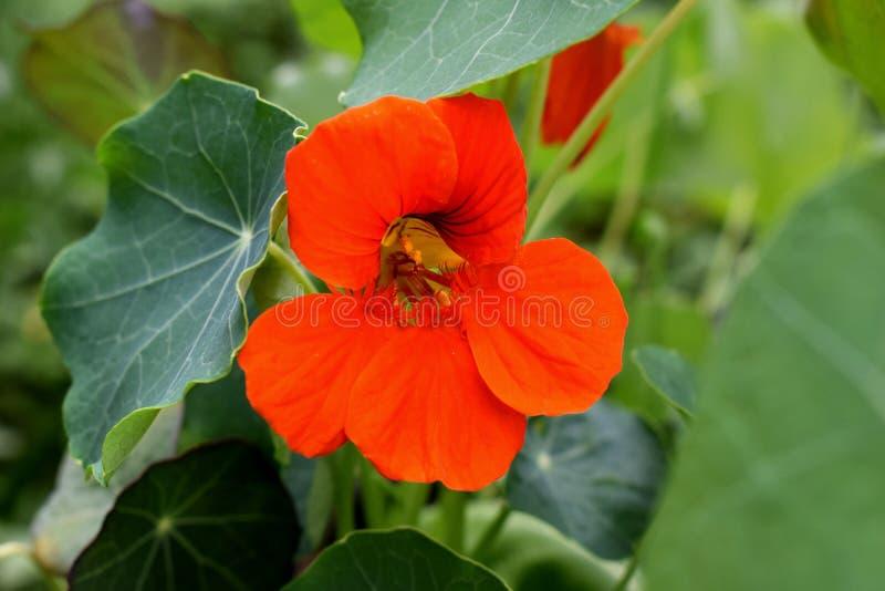 Κόκκινο λουλούδι Tropaeolum στοκ φωτογραφία με δικαίωμα ελεύθερης χρήσης