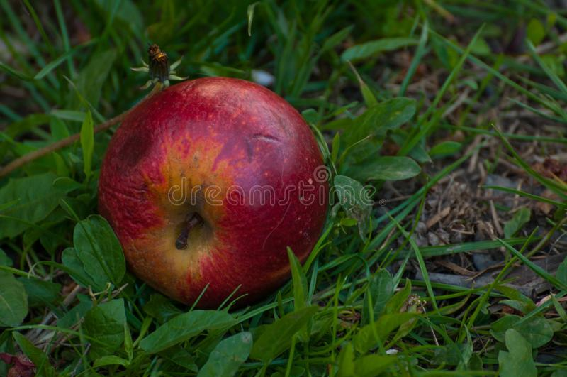 Κόκκινο μήλο στη χλόη Φρούτα στοκ εικόνα