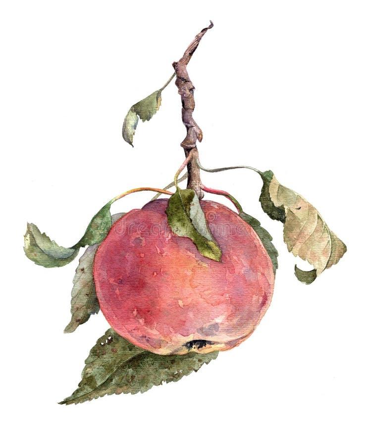 Κόκκινο μήλο στον κλάδο με τα φύλλα Απεικόνιση Watercolor συγκομιδών φθινοπώρου ελεύθερη απεικόνιση δικαιώματος