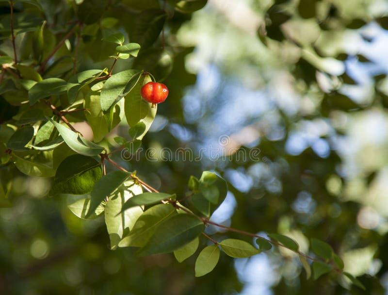 Κόκκινο μούρο στοκ φωτογραφία με δικαίωμα ελεύθερης χρήσης