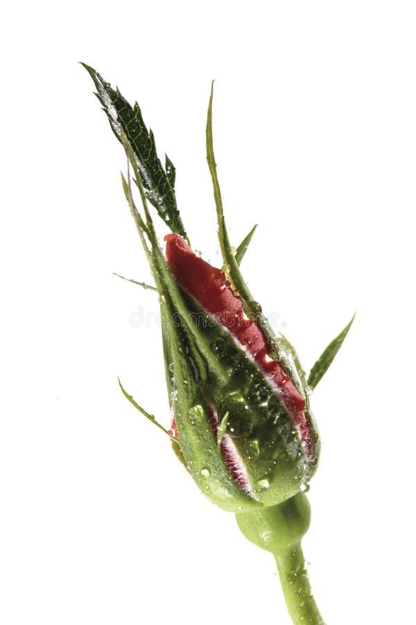 κόκκινο μπουμπούκι τριαντάφυλλου στοκ εικόνες