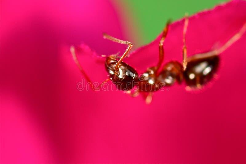 Κόκκινο μυρμήγκι σε ένα ρόδινο λουλούδι στοκ φωτογραφία