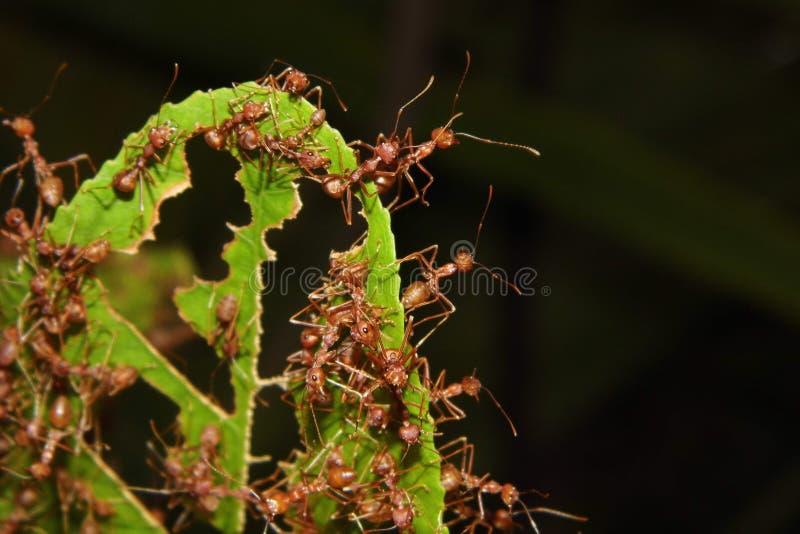 Κόκκινο μυρμήγκι στο φύλλο στοκ εικόνες