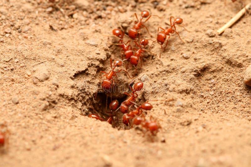 κόκκινο μυρμηγκιών στοκ εικόνα με δικαίωμα ελεύθερης χρήσης