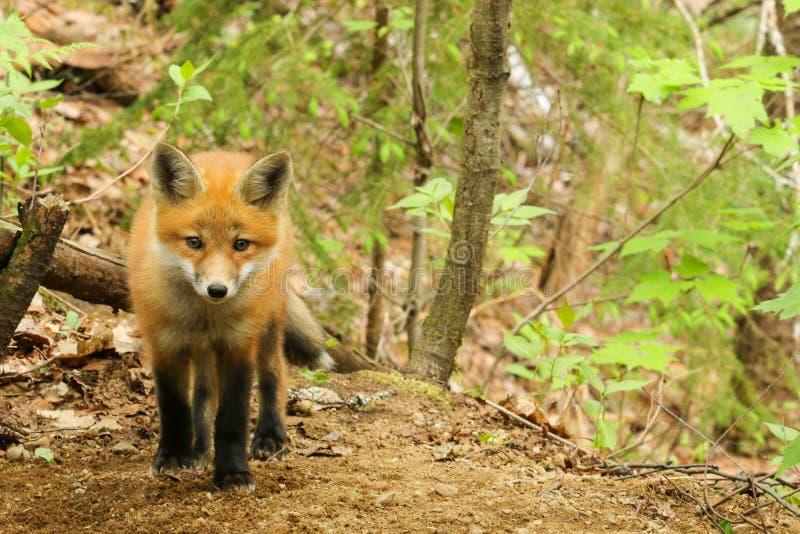 Κόκκινο μωρό εξαρτήσεων αλεπούδων στοκ φωτογραφίες με δικαίωμα ελεύθερης χρήσης