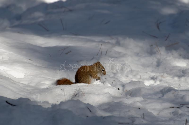 Κόκκινο να προμηθεύσει με ζωοτροφές σκιούρων το χειμώνα στοκ φωτογραφίες