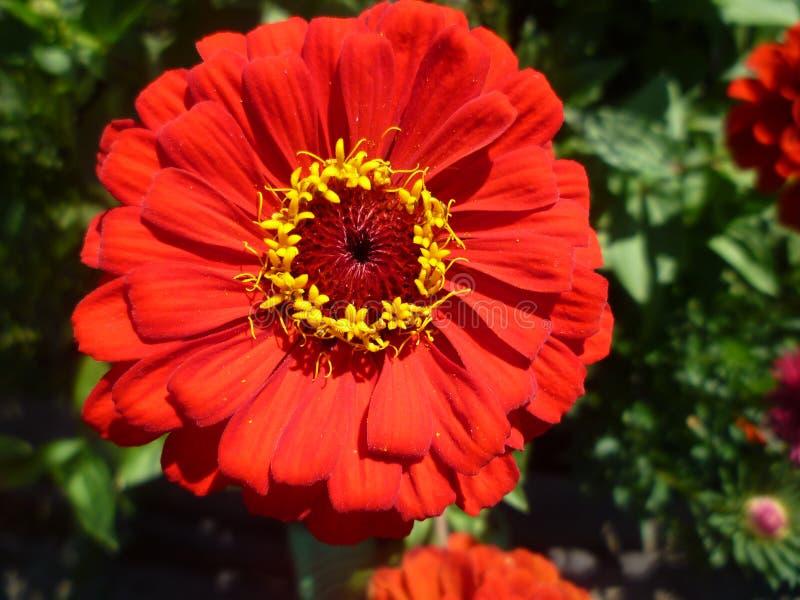 κόκκινο λουλουδιών άνθ&iota στοκ φωτογραφίες με δικαίωμα ελεύθερης χρήσης