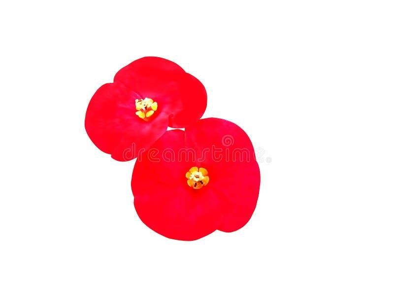 Κόκκινο λουλουδιών στην απομόνωση στοκ φωτογραφία με δικαίωμα ελεύθερης χρήσης