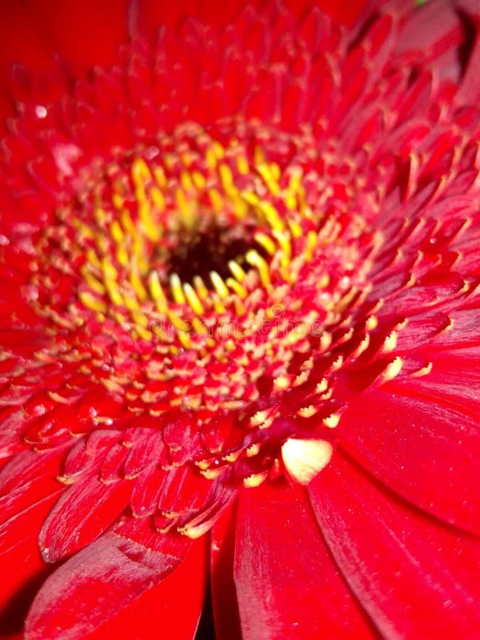 Κόκκινο λουλουδιών Gerbera στοκ εικόνες