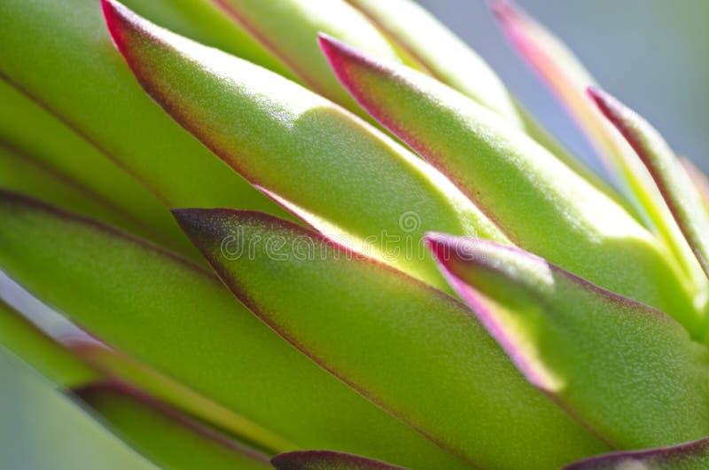 Κόκκινο λουλούδι οφθαλμών φρούτων δράκων στοκ εικόνες