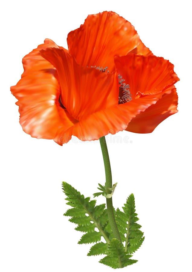 Κόκκινο λουλούδι παπαρουνών απεικόνιση αποθεμάτων