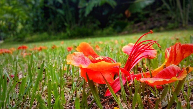 Κόκκινο λουλούδι που πέφτει από το μεγάλο δέντρο στοκ εικόνες με δικαίωμα ελεύθερης χρήσης
