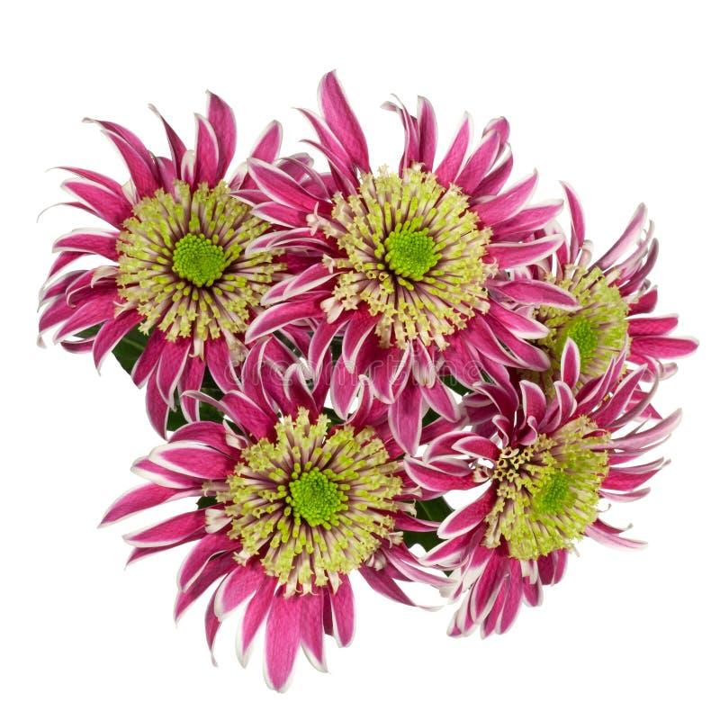 Download Κόκκινο λουλούδι χρυσάνθεμων Στοκ Εικόνες - εικόνα από άνθος, ανθίζοντας: 62714738