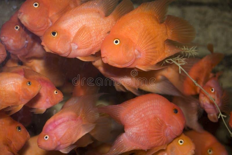 κόκκινο παπαγάλων ψαριών στοκ φωτογραφίες με δικαίωμα ελεύθερης χρήσης