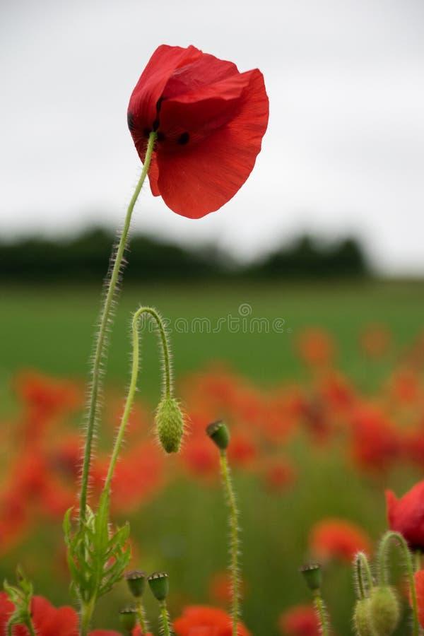 κόκκινο παπαρουνών στοκ εικόνα με δικαίωμα ελεύθερης χρήσης