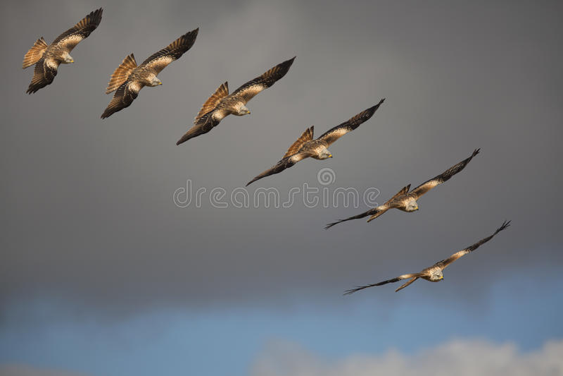 Κόκκινο πουλί ικτίνων (milvus Milvus) του θηράματος κατά την πτήση στοκ φωτογραφία με δικαίωμα ελεύθερης χρήσης