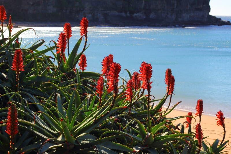 Κόκκινο που ανθίζει το τροπικό φυτό στον κόλπο παραλιών στοκ φωτογραφία με δικαίωμα ελεύθερης χρήσης