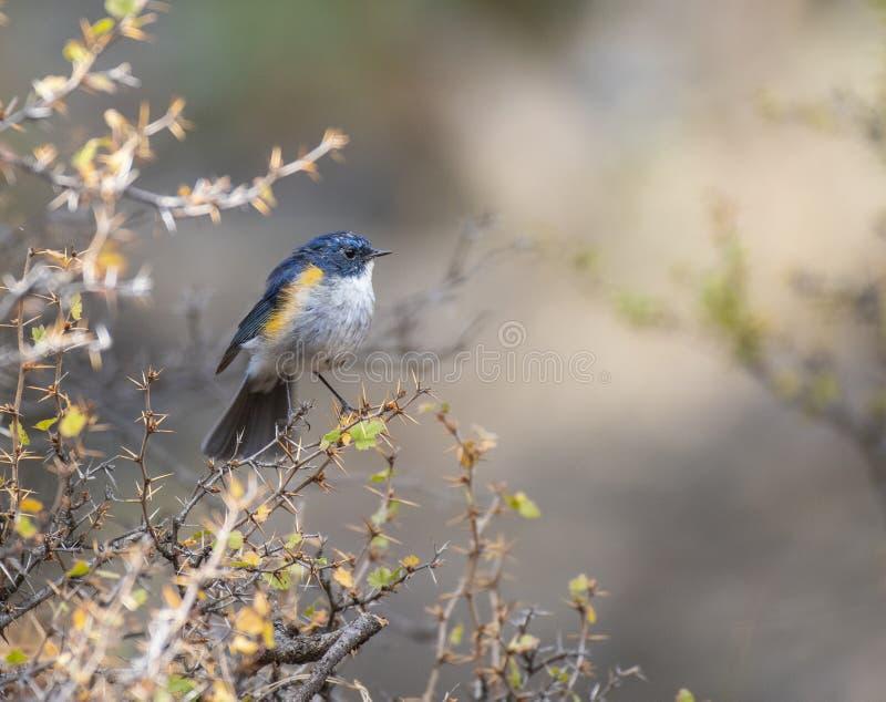 Κόκκινο που πλαισιώνεται bluetail στοκ φωτογραφία