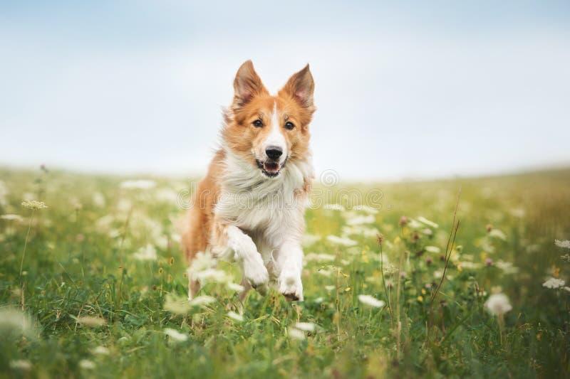 Κόκκινο σκυλί κόλλεϊ συνόρων που τρέχει σε ένα λιβάδι στοκ φωτογραφία