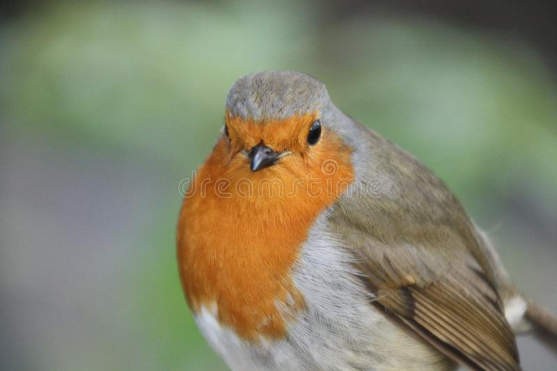 Κόκκινο στήθος της Robin επάνω στενό στοκ εικόνα με δικαίωμα ελεύθερης χρήσης