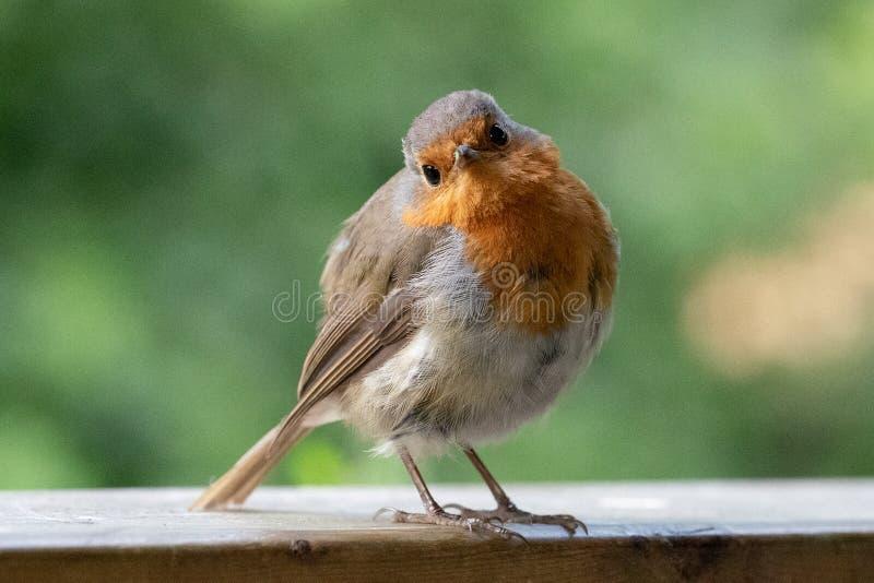 Κόκκινο στήθος της Robin στοκ εικόνα με δικαίωμα ελεύθερης χρήσης