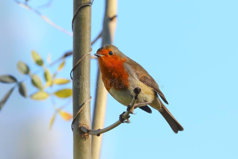 Κόκκινο στήθος της Robin στοκ εικόνες με δικαίωμα ελεύθερης χρήσης