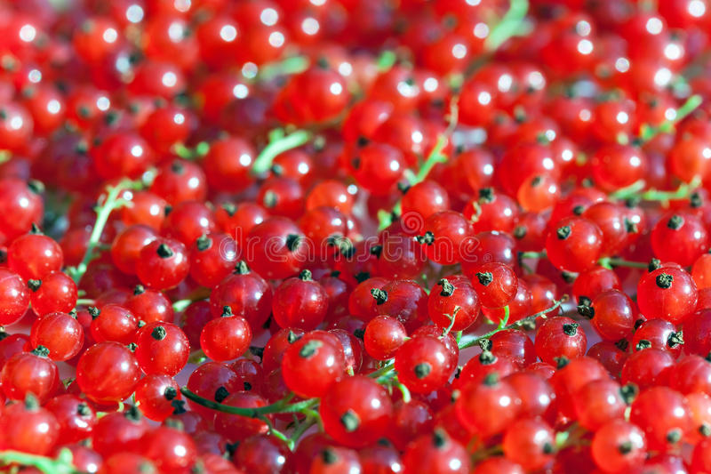 κόκκινο σταφίδων στοκ εικόνα