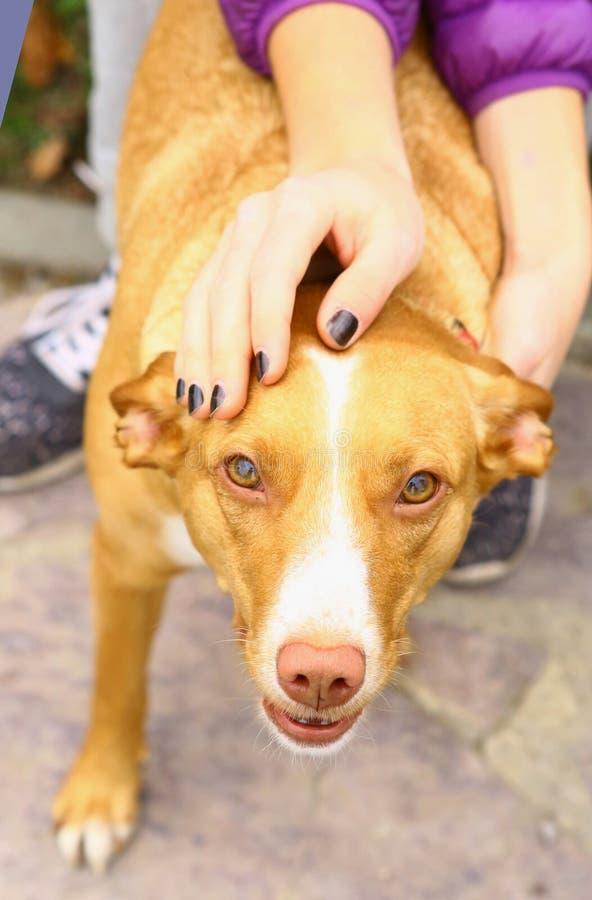 Κόκκινο στενό επάνω πορτρέτο σκυλιών κυνηγών μύτης στοκ εικόνα με δικαίωμα ελεύθερης χρήσης