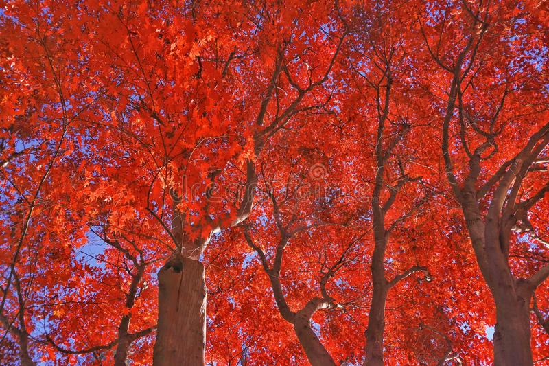 κόκκινο σφενδάμνων στοκ εικόνες