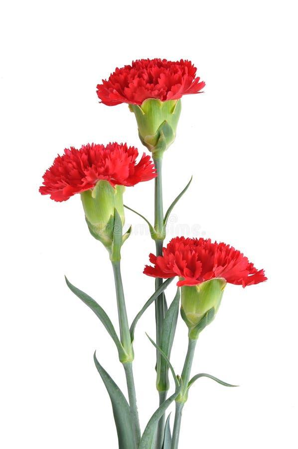 κόκκινο τρία γαρίφαλων στοκ φωτογραφία με δικαίωμα ελεύθερης χρήσης