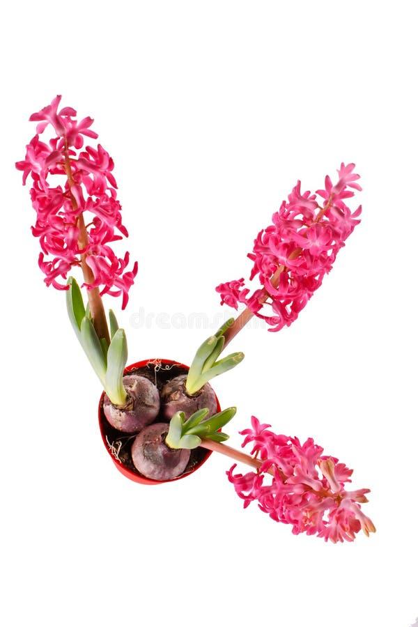 Download κόκκινο υάκινθων στοκ εικόνα. εικόνα από οίστρο, κήπος - 13187467