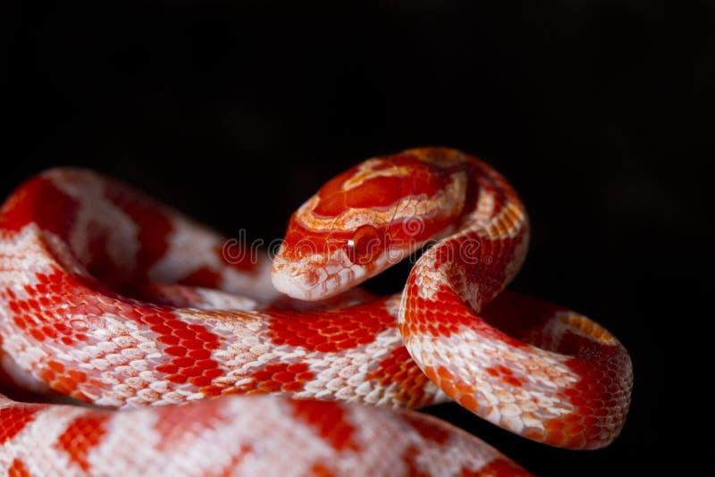 Κόκκινο φίδι καλαμποκιού στοκ εικόνες