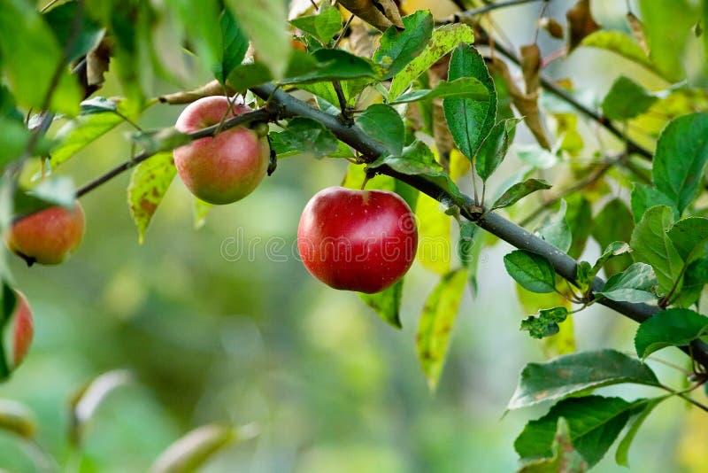 κόκκινο φθινοπώρου μήλων στοκ εικόνες