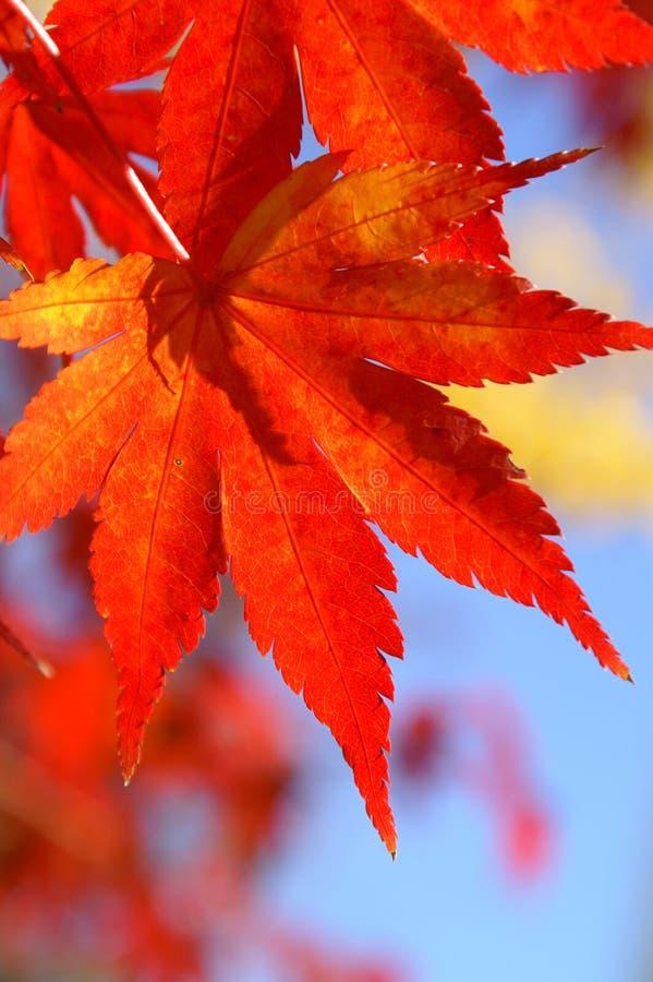 κόκκινο φθινοπώρου στοκ φωτογραφία