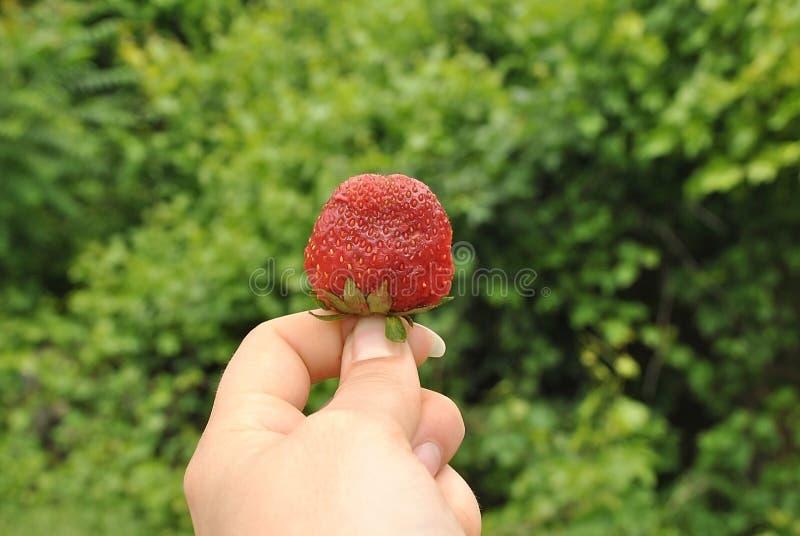 Κόκκινο φραουλών στοκ εικόνα