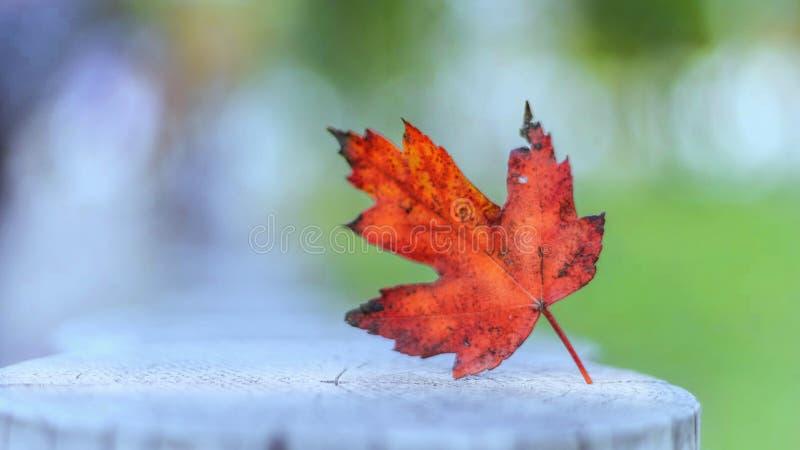 Κόκκινο φύλλο πρόσφατου καλοκαιριού στοκ εικόνα με δικαίωμα ελεύθερης χρήσης