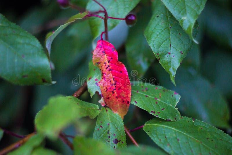 Κόκκινο φύλλο σε έναν κλάδο με τα πράσινα φύλλα στοκ εικόνα