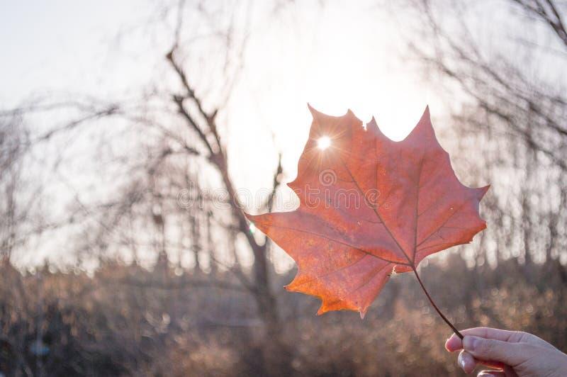 Κόκκινο φύλλο σφενδάμου πτώσης στοκ φωτογραφία με δικαίωμα ελεύθερης χρήσης