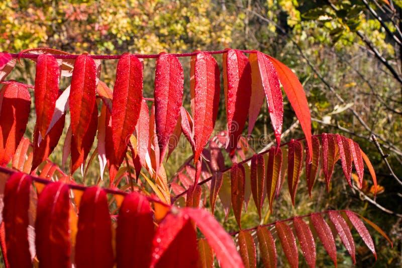 Download κόκκινο φύλλων στοκ εικόνες. εικόνα από ομάδα, πάρκο - 13183392