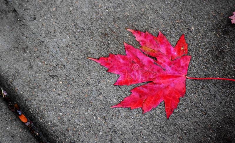 Κόκκινο φύλλο πτώσης στοκ εικόνες