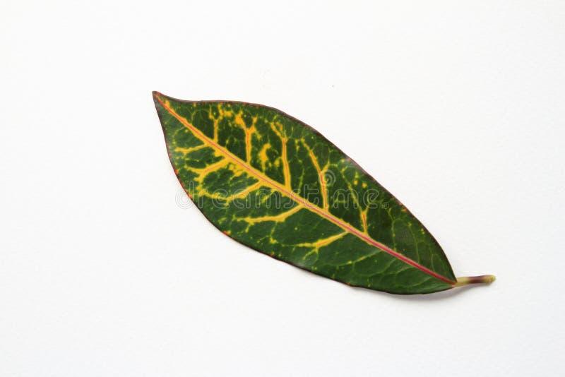 Κόκκινο φύλλο Croton στοκ φωτογραφίες με δικαίωμα ελεύθερης χρήσης