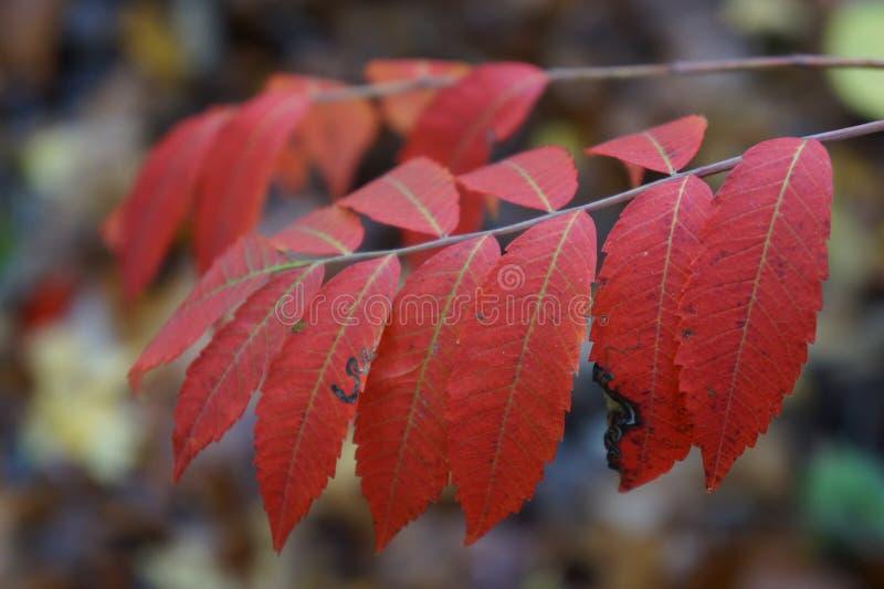κόκκινο φύλλων στοκ εικόνα
