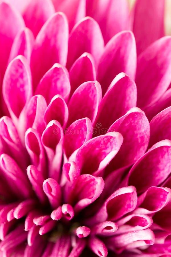 Κόκκινο χρυσάνθεμο λουλουδιών ως υπόβαθρο κλείστε στοκ φωτογραφία με δικαίωμα ελεύθερης χρήσης