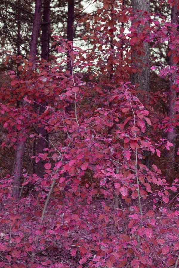Κόκκινο όμορφο δάσος φθινοπώρου στην κόκκινη εμφάνιση στοκ εικόνες