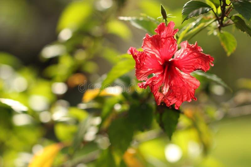 Κόκκινο όμορφο λουλούδι στοκ εικόνα με δικαίωμα ελεύθερης χρήσης