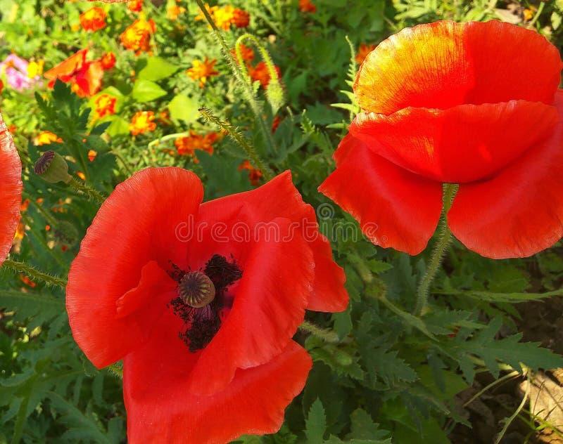 Κόκκινο όμορφο λουλούδι στοκ φωτογραφία με δικαίωμα ελεύθερης χρήσης