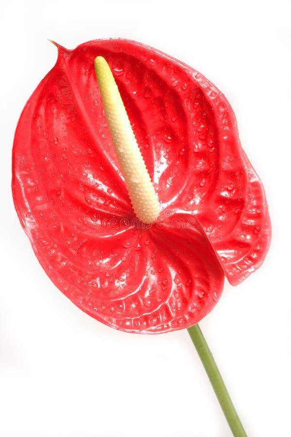 κόκκινο 3 λουλουδιών στοκ φωτογραφία με δικαίωμα ελεύθερης χρήσης