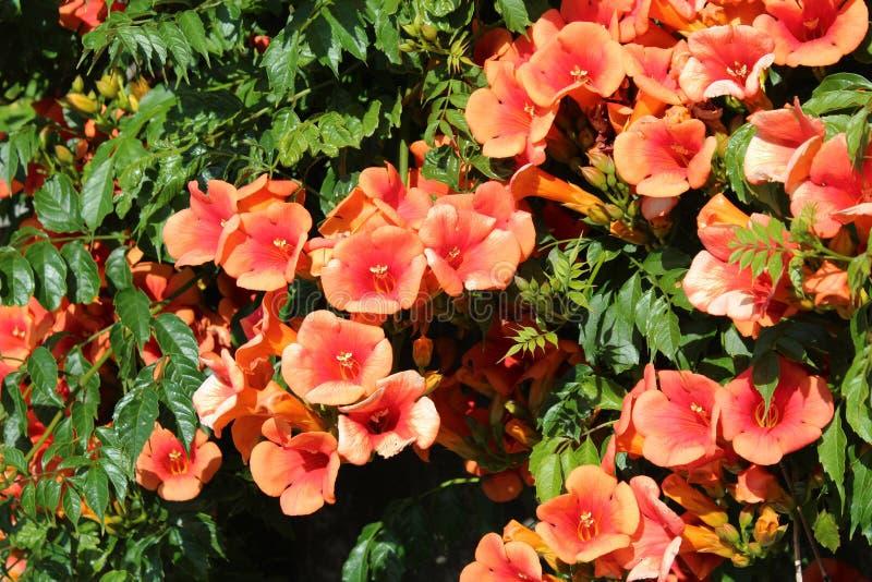 Κόκκινο Allamanda στην πλήρη άνθιση στοκ εικόνα